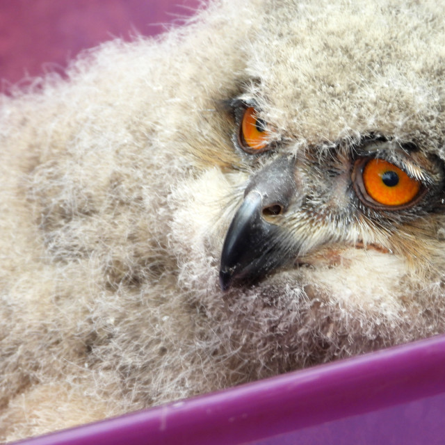 """Birds of Prey Series - Baby Eurasian Eagle Owl II"" stock image"