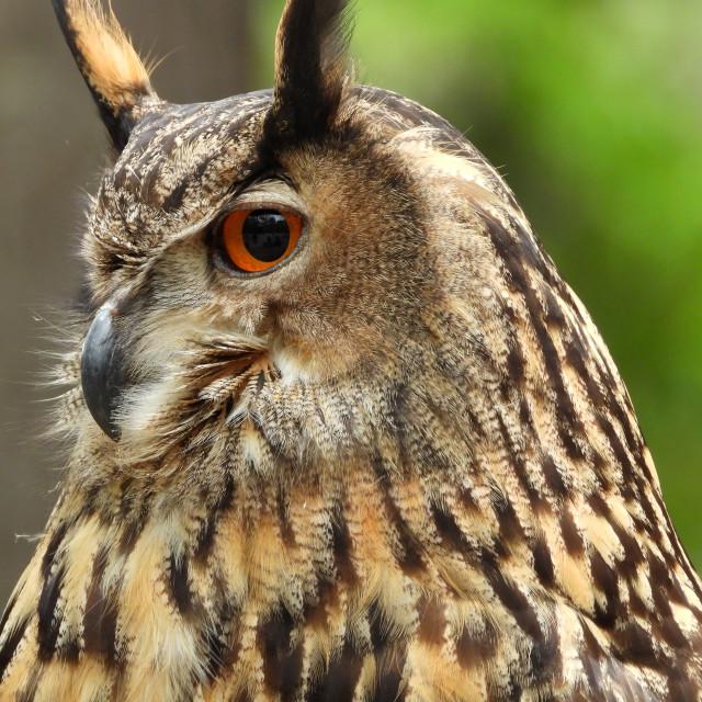 """Birds of Prey Series - Eurasian Eagle Owl I"" stock image"