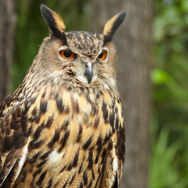 """Birds of Prey Series - Eurasian Eagle Owl II"" stock image"