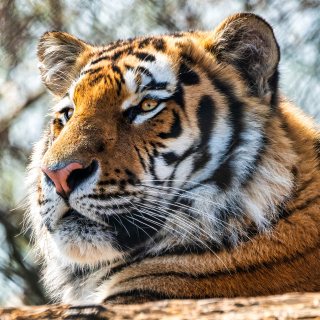 """""""Tiger from Colchester Zoo, UK."""" stock image"""