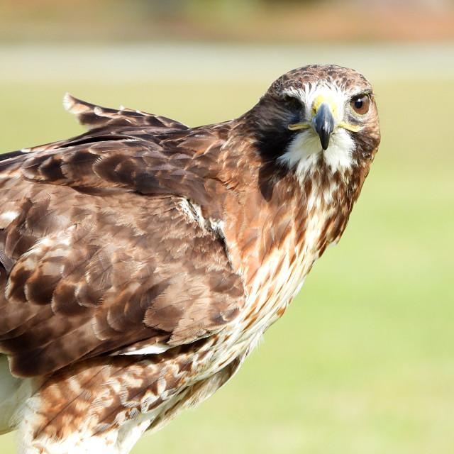 """Birds of Prey Series - Red-Tailed Hawk III"" stock image"
