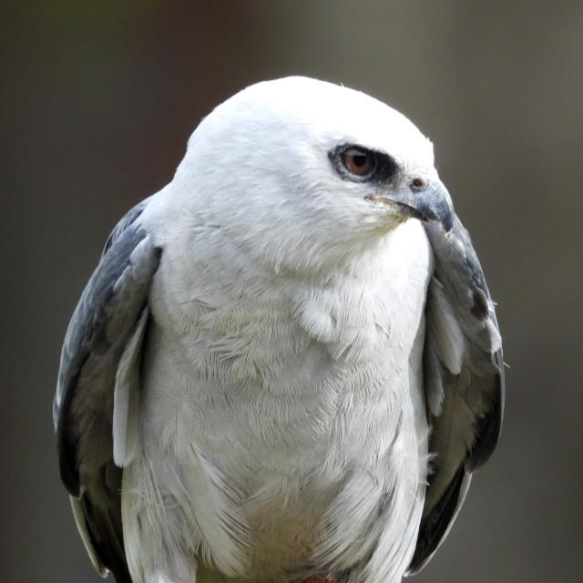 """""""Birds of Prey Series - Mississippi Kite I"""" stock image"""