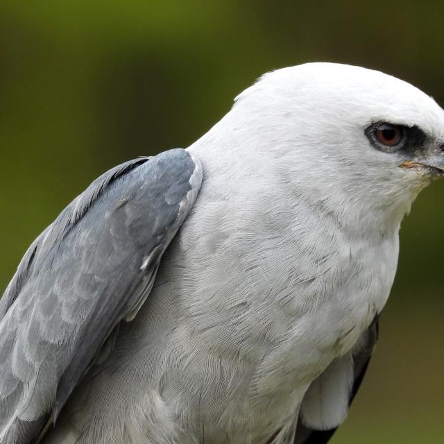 """Birds of Prey Series - Mississippi Kite II"" stock image"