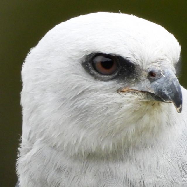"""Birds of Prey Series - Mississippi Kite IV"" stock image"