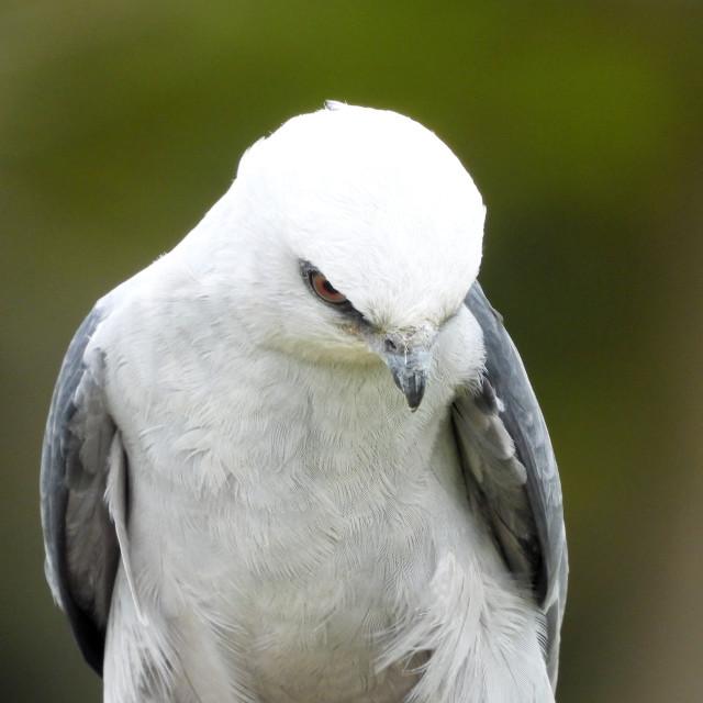 """""""Birds of Prey Series - Mississippi Kite V"""" stock image"""
