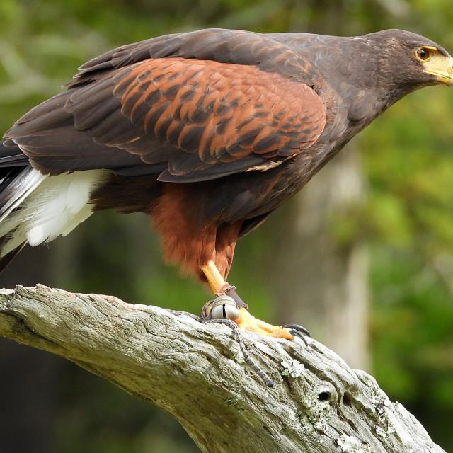 """Birds of Prey Series - Harris' Hawk I"" stock image"