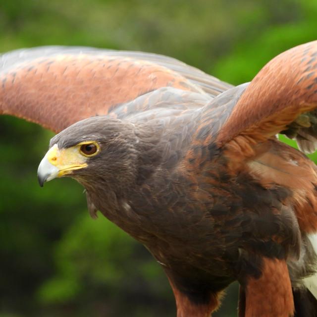 """""""Birds of Prey Series - Harris' Hawk II"""" stock image"""
