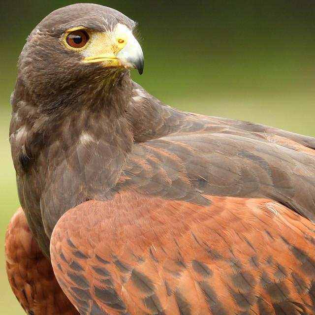 """""""Birds of Prey Series - Harris' Hawk III"""" stock image"""