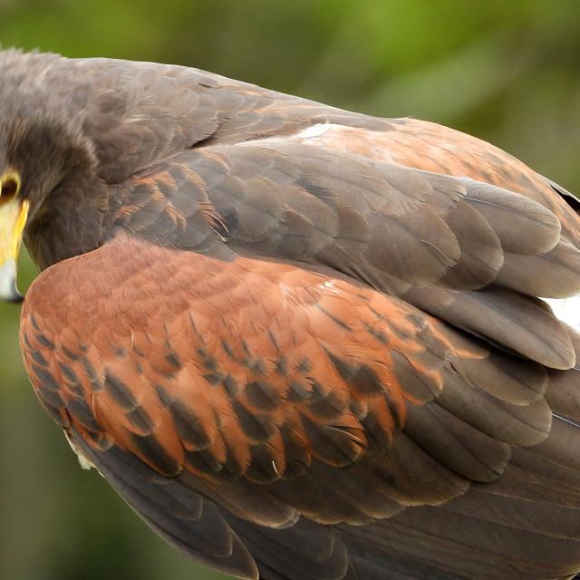 """Birds of Prey Series - Harris' Hawk IV"" stock image"