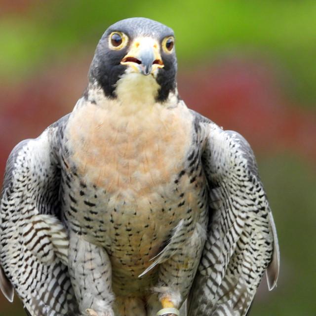 """Birds of Prey Series - Peregrine Falcon II"" stock image"