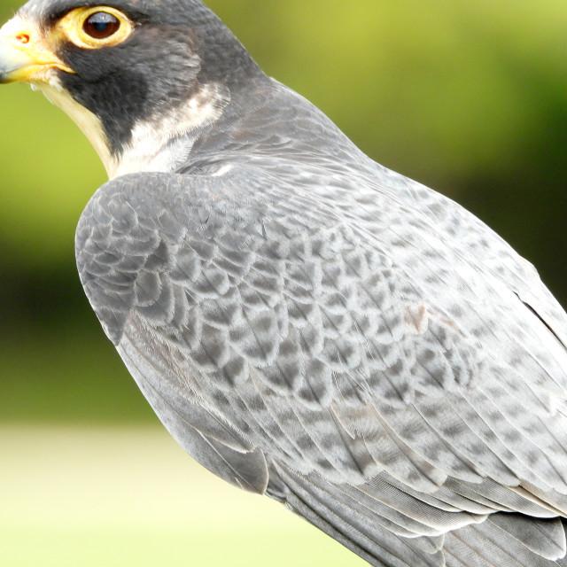 """""""Birds of Prey Series - Peregrine Falcon III"""" stock image"""