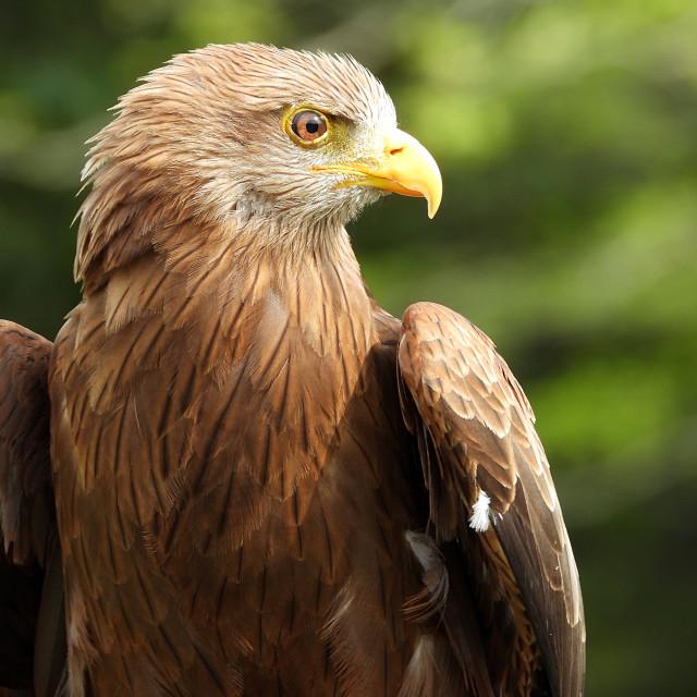 """Birds of Prey Series - Yellow-billed Kite"" stock image"
