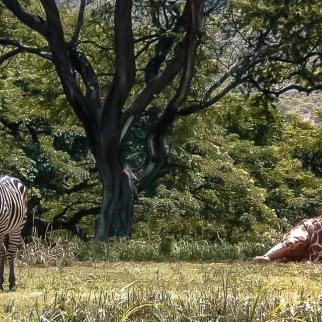 """The Zebra & Giraffe Couple"" stock image"