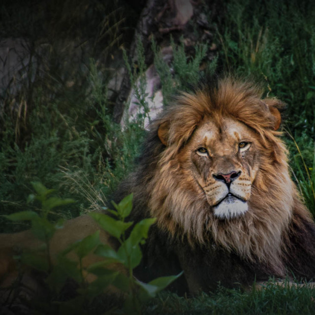 """""""The Majestic Lion"""" stock image"""