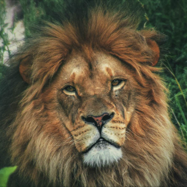 """""""Up Close & personal With The Majestic Lion"""" stock image"""