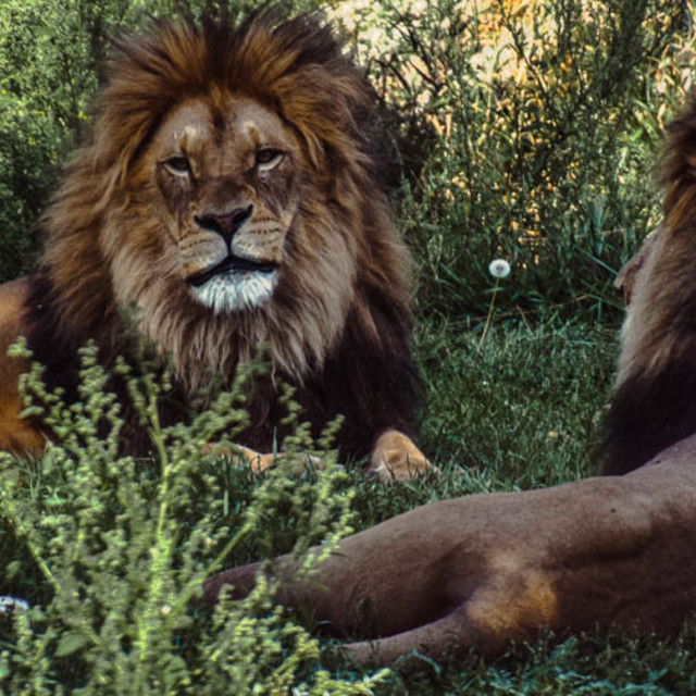 """""""The Gazing Lions"""" stock image"""