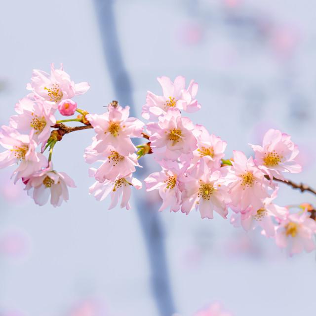 """""""Sakura Flowers"""" stock image"""