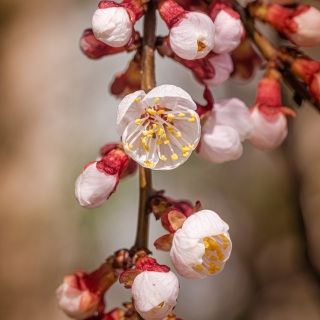 """""""Apricot Tree Buds and Flowers"""" stock image"""