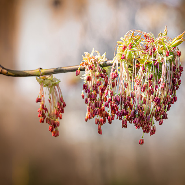 """""""Acer Negundo Leaves and Flowers"""" stock image"""