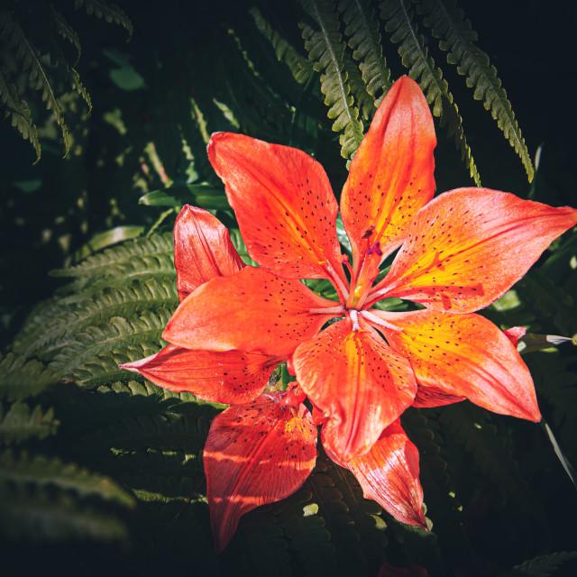 """""""Orange Lilium"""" stock image"""