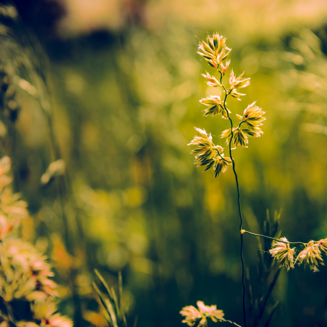 """""""Gramineae herbs in the Meadow"""" stock image"""