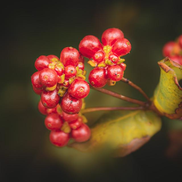 """Etruscan Honeysuckle Fruits, Lonicera Etrusca"" stock image"