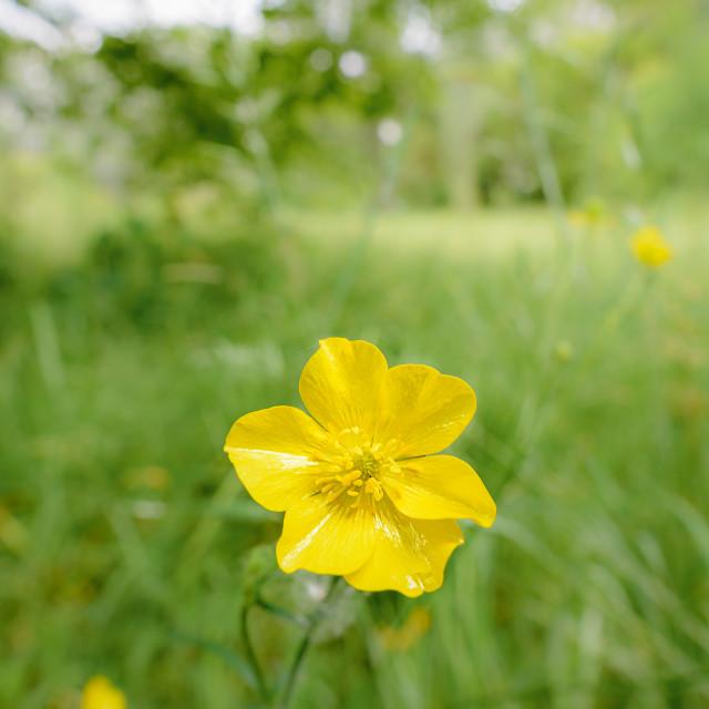 """""""Yellow Ranunculus Repens"""" stock image"""