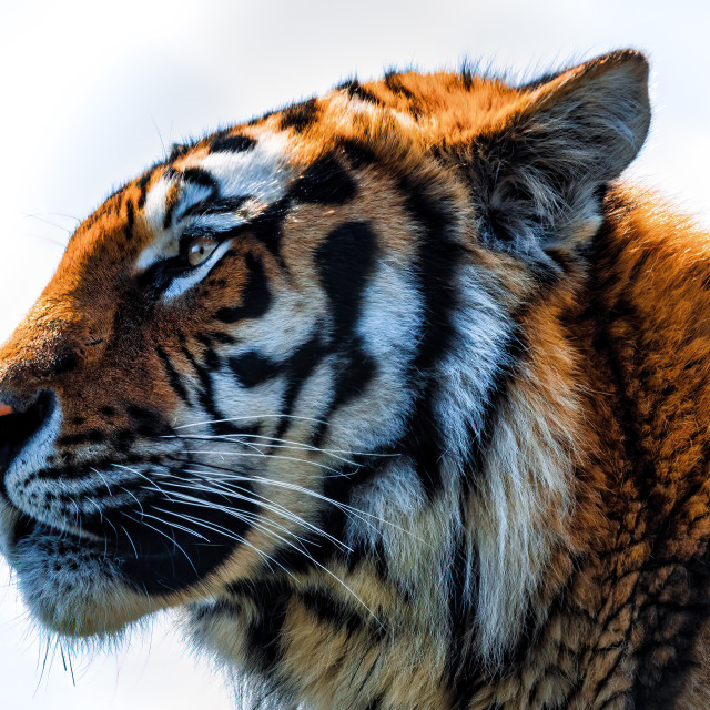 """""""Tiger from Colchester Zoo."""" stock image"""
