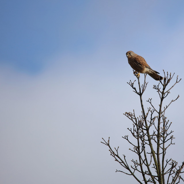 """""""Female Kestrel perched on branches"""" stock image"""