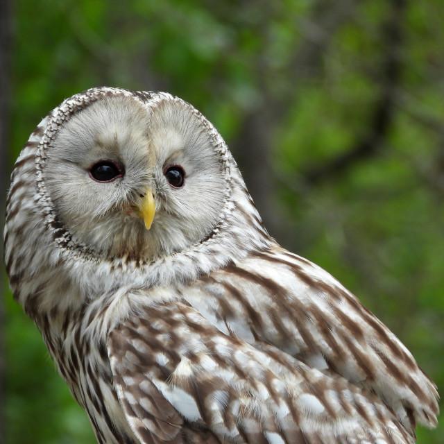 """""""Birds of Prey Series - Ural Owl III"""" stock image"""
