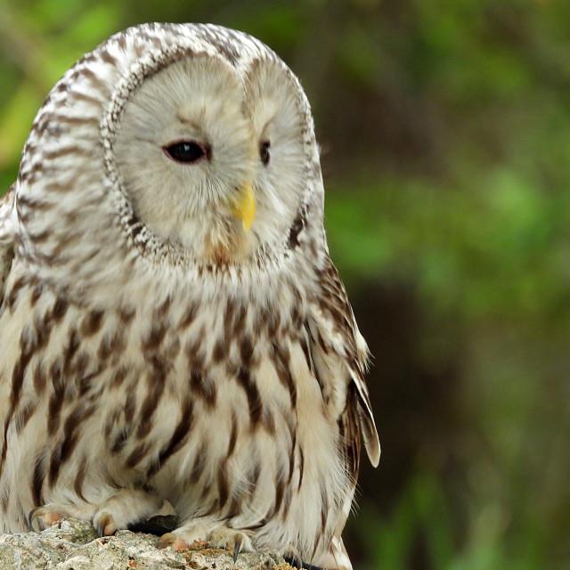 """Birds of Prey Series - Ural Owl IV"" stock image"