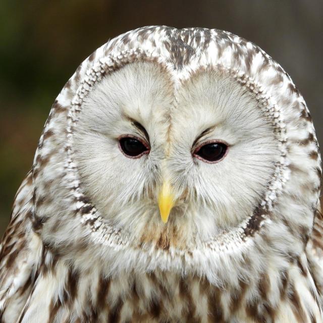 """""""Birds of Prey Series - Ural Owl V"""" stock image"""
