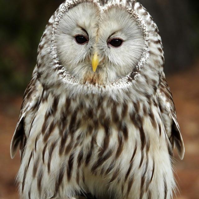 """""""Birds of Prey Series - Ural Owl VI"""" stock image"""