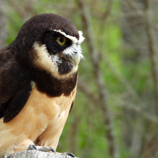 """Birds of Prey Series - Speckled Owl I"" stock image"