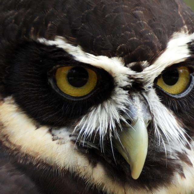 """Birds of Prey Series - Speckled Owl II"" stock image"