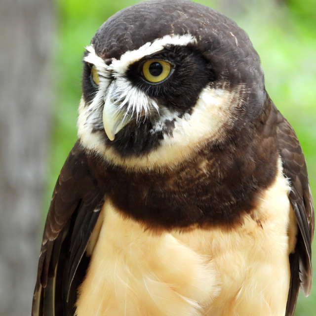 """Birds of Prey Series - Speckled Owl IV"" stock image"