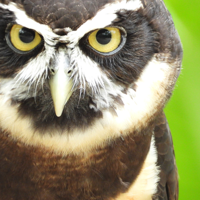 """Birds of Prey Series - Speckled Owl V"" stock image"