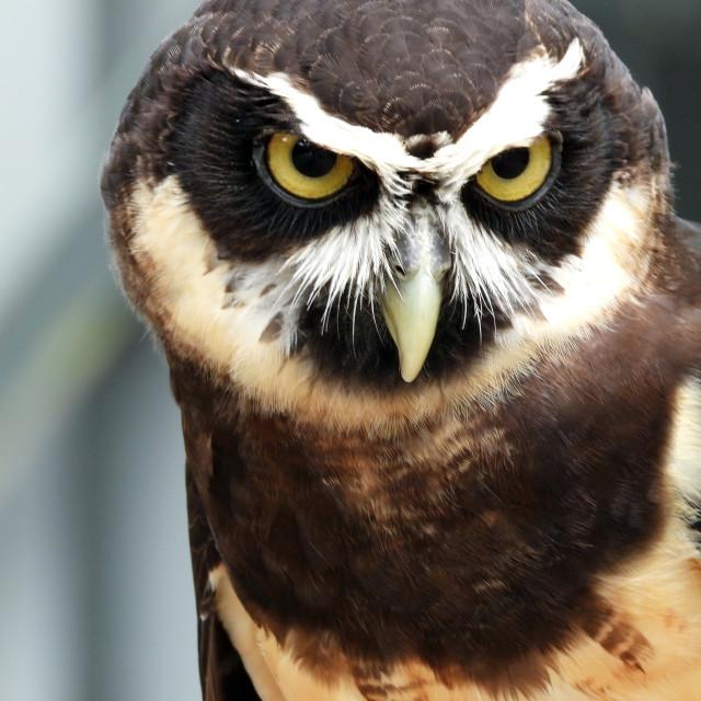 """Birds of Prey Series - Speckled Owl VII"" stock image"