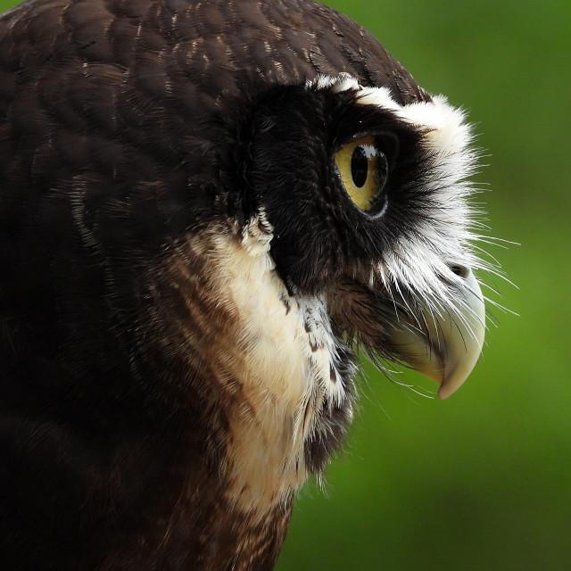 """Birds of Prey Series - Speckled Owl VIII"" stock image"