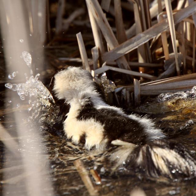 """""""Striped Skunk swimming in marsh"""" stock image"""
