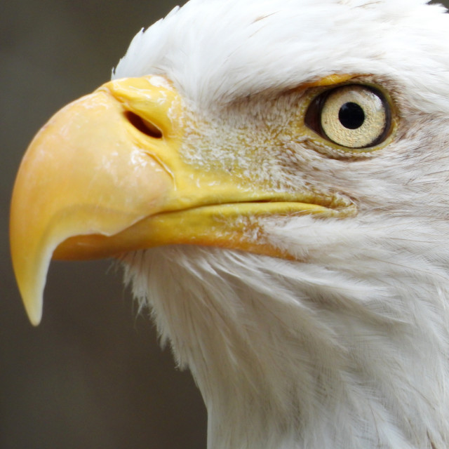"""Birds of Prey Series - Bald Eagle IV"" stock image"