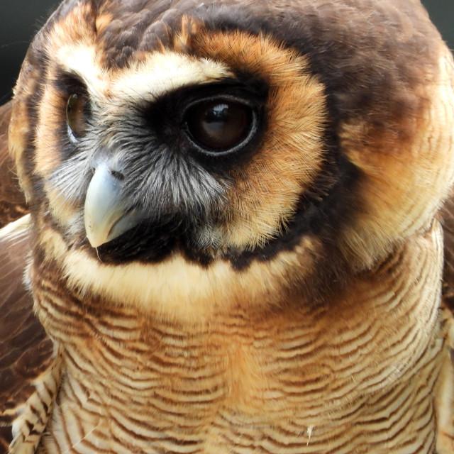 """Birds of Prey Series – Brown Wood Owl I"" stock image"