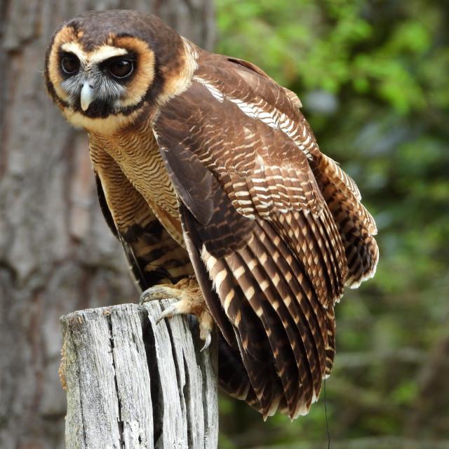 """Birds of Prey Series – Brown Wood Owl II"" stock image"