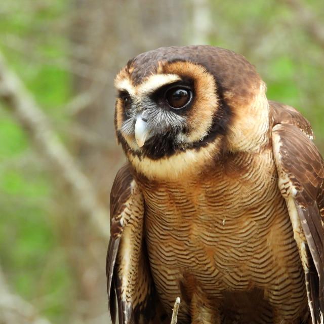 """Birds of Prey Series – Brown Wood Owl VI"" stock image"