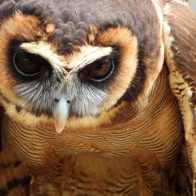 """Birds of Prey Series – Brown Wood Owl VIII"" stock image"