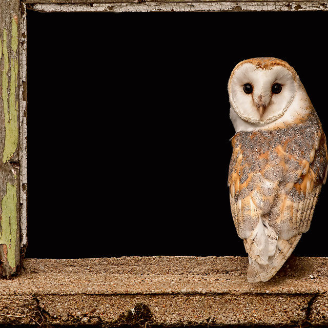 """Barn Owl in Old Barn Window"" stock image"