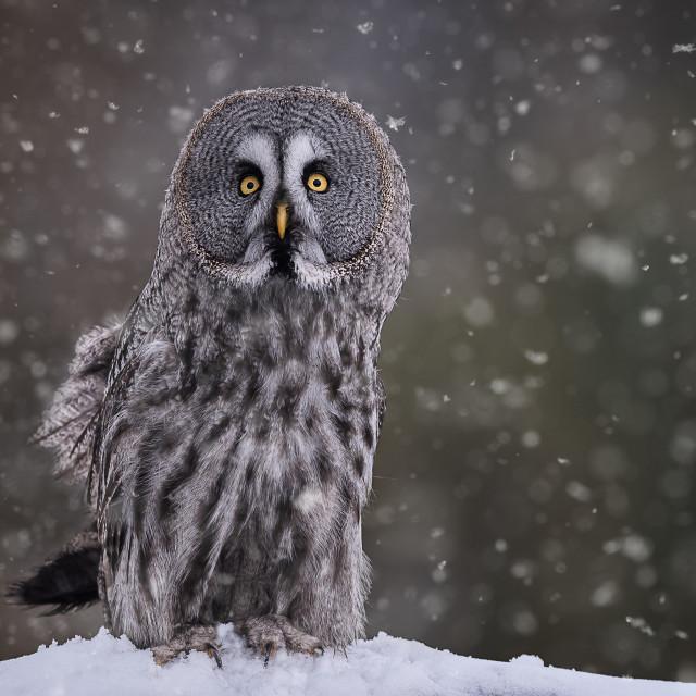 """Great Grey Owl in Snowfall"" stock image"