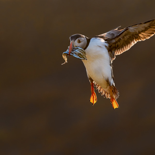 """""""Incoming Backlit Puffin with Sandeels"""" stock image"""
