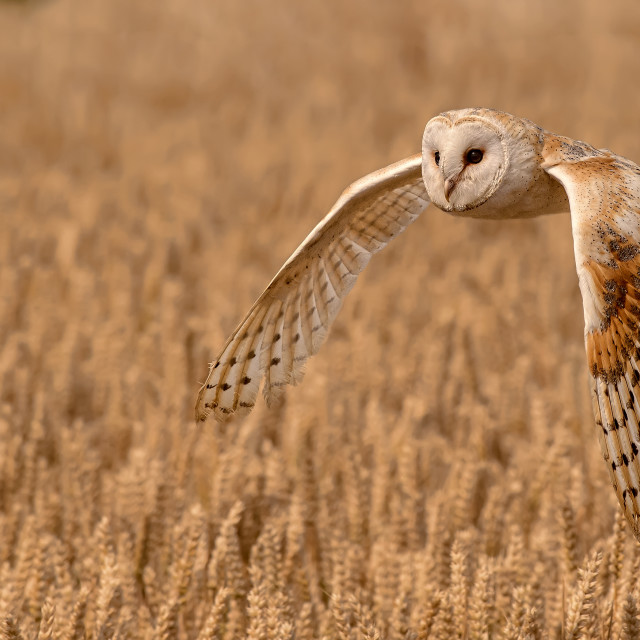 """Barn Owl Quartering a Field"" stock image"