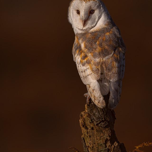 """Barn Owl in Late Evening Light"" stock image"